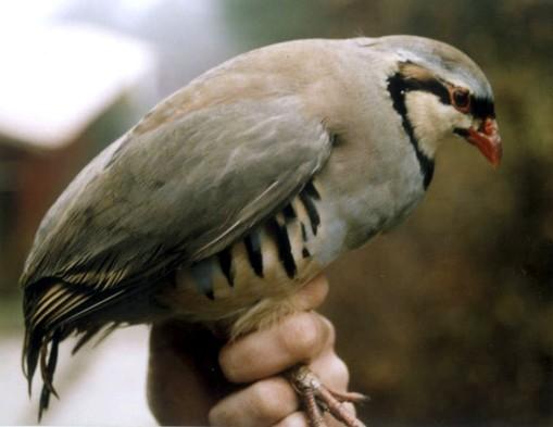 sání velkého bílého ptáka